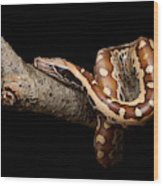 Blood Python Python Brongersmai Wood Print