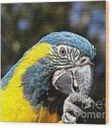 Blue Throat Macaw Wood Print