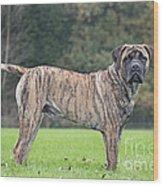 Boerboel Dog Wood Print