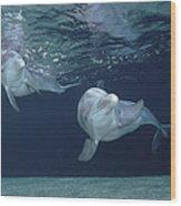 Bottlenose Dolphin  Pair Hawaii Wood Print