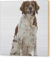 Brittany Spaniel Or Epagneul Breton Wood Print