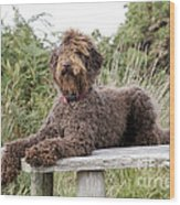 Brown Labradoodle Wood Print