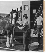 Budweiser Clydesdales La Fiesta De Los Vaqueros Rodeo Parade Tucson Arizona 1984 Wood Print