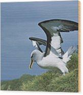 Bullers Albatross With Colorful Bill Wood Print