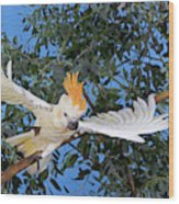 Cacatoes A Huppe Orange Cacatua Wood Print