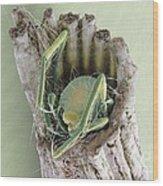 Caddisfly Larva, Sem Wood Print