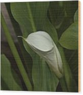 Calla Lily Wood Print by Elery Oxford
