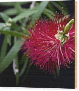 Callistemon Citrinus - Crimson Bottlebrush Hawaii Wood Print