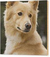 Canaan Dog Wood Print