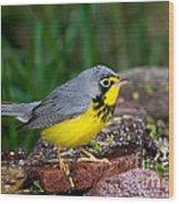 Canada Warbler Wood Print