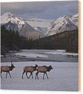 Elk Crossing, Banff National Park, Alberta Wood Print