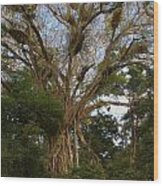 Cathedral Fig Tree Wood Print