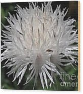 Centaurea Named The Bride Wood Print