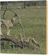 Cheetah  Acinonyx Jubatus Wood Print