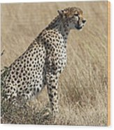 Cheetah Searching For Prey Wood Print