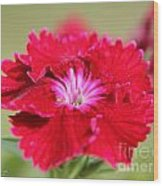 Cherry Dianthus From The Floral Lace Mix Wood Print