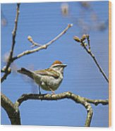 Chipping Sparrow Perched In A Tree Wood Print