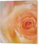 Close Up Of Single Rose (rosa Hybrid) Wood Print