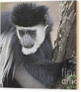 Colobus Monkey Wood Print