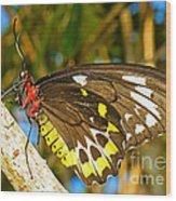 Common Birdwing Butterfly Wood Print