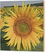 Common Sunflower Helianthus Annuus Wood Print