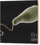 Conceptual Image Of Euglena Wood Print by Stocktrek Images