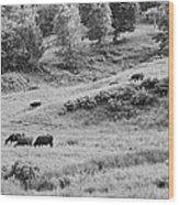 Cows Grazing In Field Rockport Maine Wood Print