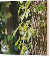 Creeper Leaves Under The Sun Wood Print