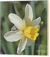 Cyclamineus Daffodil Named Jack Snipe Wood Print