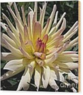 Dahlia Named Camano Ariel Wood Print