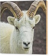 Dall Sheep Wood Print