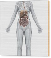 Digestive System Female Wood Print