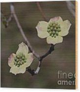 Dogwood Blossoms Wood Print
