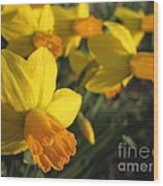 Dwarf Cyclamineus Daffodil Named Jet Fire Wood Print