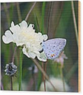 Eastern Tailed Blue Butterfly On Pincushion Flower Wood Print