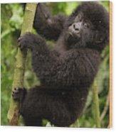 Endangered Mountain Gorillas Habitate Wood Print
