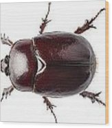European Rhinoceros Beetle Female  Wood Print