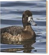 Female Scaup Wood Print
