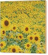 Field Of Sunflowers Helianthus Sp Wood Print