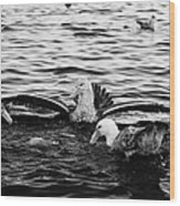 flock of southern giant petrels one showing sealmaster agressive feeding posture in port lockroy Ant Wood Print