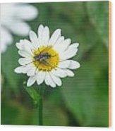 Fly On Daisy 3 Wood Print