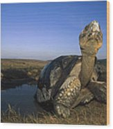 Galapagos Giant Tortoise Wallowing Wood Print