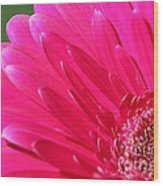 Gerbera Daisy Named Raspberry Picobello Wood Print
