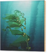 Giant Kelp Macrocystis Pyrifera Forest Wood Print