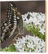 Giant Swallowtail Butterfly  Wood Print