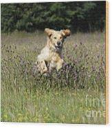 Golden Retriever Running Wood Print by John Daniels