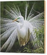 Great White Egret In Breeding Plumage Wood Print