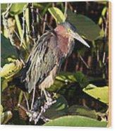 Green Backed Heron Wood Print