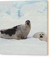 Harp Seals On Hudson Bay Wood Print