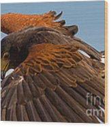 Harris Hawk Approach Wood Print